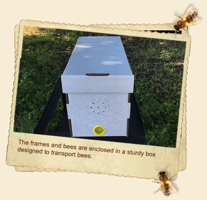 5 Frame Nucleus Hive with Marked Queen Bee